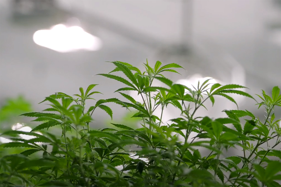 cannabis growing under energy-efficient lighting at Canopy Growth